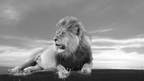 Africano Lion Silhouette Fotografia de Stock