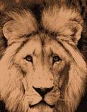 Africano Lion Sketch imagen de archivo