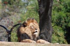 Africano Lion Sleeping Under las ramas de un árbol fotografía de archivo