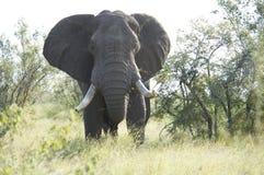 Africano maestoso Elaphant Fotografia Stock Libera da Diritti