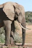 Africano masculino del elefante Imágenes de archivo libres de regalías