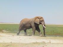 Africano Ndovu o Tembo del Loxodonta dell'elefante africano fotografie stock libere da diritti