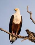 Africano pescado-Eagle Fotografía de archivo