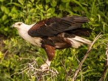 Africano pescado-Eagle Fotografía de archivo libre de regalías