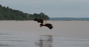 Africano Pescado-Eagle, vocifer del haliaeetus, adulto en vuelo, pescados en las garras, pescando en el lago Baringo, Kenia, almacen de video
