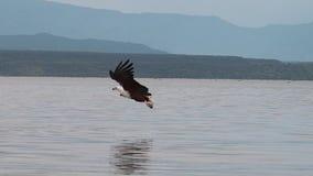 Africano Pescado-Eagle, vocifer del haliaeetus, adulto en vuelo, pescados en las garras, pescando en el lago Baringo, Kenia, almacen de metraje de vídeo