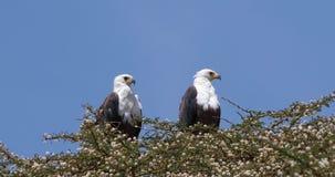 Africano Pescado-Eagle, vocifer del haliaeetus, par en la cima del árbol, lago Naivasha en Kenia, almacen de metraje de vídeo