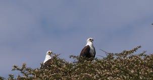 Africano Pescado-Eagle, vocifer del haliaeetus, par en la cima del árbol, lago Naivasha en Kenia, almacen de video