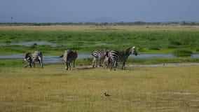 Africano selvaggio Rift Plain Near Pond di Graze On Green Meadow In delle zebre stock footage