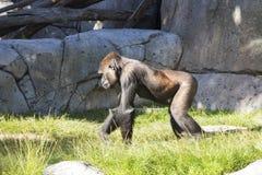 Africano subsahariano Gorilla Walking en el recinto animal foto de archivo
