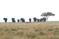 Africans elephants near a Acacia tree in the rain Royalty Free Stock Photos
