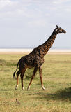 Africans giraffe Royalty Free Stock Photo