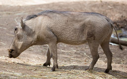 africanus公用非洲野猪属warthog 免版税库存图片