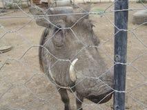 africanus非洲野猪属 库存照片