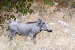africanus非洲野猪属warthog 图库摄影