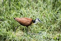 Africanus Afrikaner Jacana Actophilornis, das in eine Feuchtwiese geht Stockfotografie