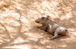 Africanus comune del Phacochoerus di facocero Fotografia Stock
