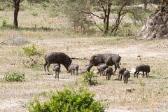 Africanus comune del Phacochoerus di facocero nel parco nazionale di Tarangire, Tanzania Immagine Stock Libera da Diritti