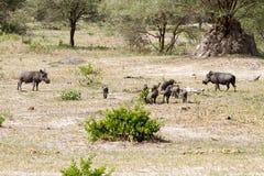 Africanus comune del Phacochoerus di facocero nel parco nazionale di Tarangire, Tanzania Immagini Stock Libere da Diritti