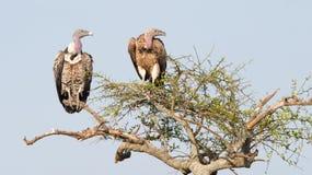 Africanus de dorso branco dos Gyps dos abutres Fotos de Stock Royalty Free