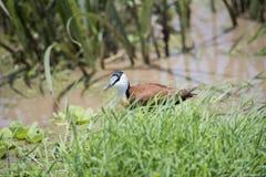 Africanus de Jacana Actophilornis del africano que camina en un prado mojado Fotografía de archivo