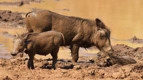 africanus pospolity phacochoerus warthog Zdjęcia Royalty Free