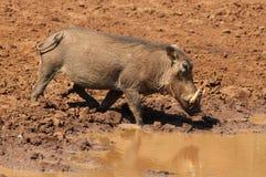 africanus pospolity phacochoerus warthog Zdjęcie Stock