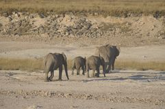 In Africas oldest wildlife national park there are lots of elephants. Etoscha Salt pans: In Africas oldest wildlife national park there are lots of elephants stock images