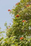 Africom tulip tree, Fire bell, Fountain tree, flowers and herbs. Royalty Free Stock Image
