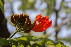 Africom Tulip Tree Fountain Tree Fotos de Stock Royalty Free