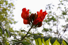 Africom Tulip Tree Royalty Free Stock Photography