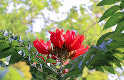 Africom Tulip Tree Stock Image