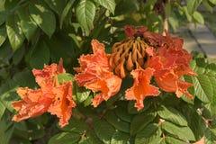 Africom-Tulpenbaum, Feuerglocke, Brunnenbaum, Blumen und Kräuter Stockfotografie