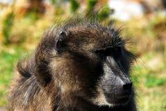 Afrika-Abschluss oben eines großen Pavian-Gesichtes stockbild