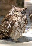 Afrika beschmutzte Adler-Eule mit gelben Augen Stockfotos