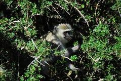 Afrika ein schöner weißer gegenübergestellter Affe in Thorn Bush Lizenzfreie Stockfotos