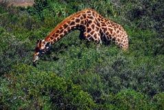 Afrika eine Giraffe mit dem Hals ausgedehnt, um Thorn Bush Leaves zu essen lizenzfreies stockfoto