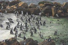 Afrika eine große Kolonie von Pinguinen im Gespräch stockfotos
