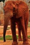 Afrika-Elefant lizenzfreies stockfoto