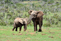 Afrika-Elefant mit Kalb Lizenzfreies Stockfoto