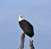 Afrika-Fisch-Adler Stockbilder
