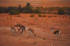 Afrika-Frühling Bock, das in eine rote Wüste in Südafrika einzieht stockbilder