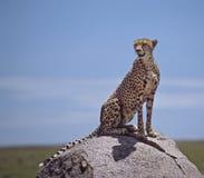 Afrika-Gepard lizenzfreie stockfotografie
