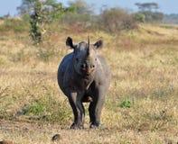 Afrika Grote Vijf: Zwarte Rinoceros Stock Foto