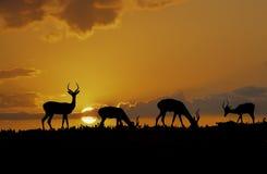 Afrika-impala silhouetten Royalty-vrije Stock Fotografie