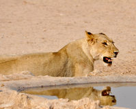 Afrika-Löwe (Panthera Löwe) stockfoto