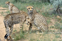 afrika nafta cheetahs stock foto