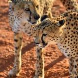 afrika nafta cheetahs stock fotografie