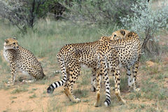 afrika nafta cheetahs stock afbeeldingen