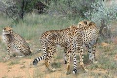 afrika naphtha cheetahs stockbilder